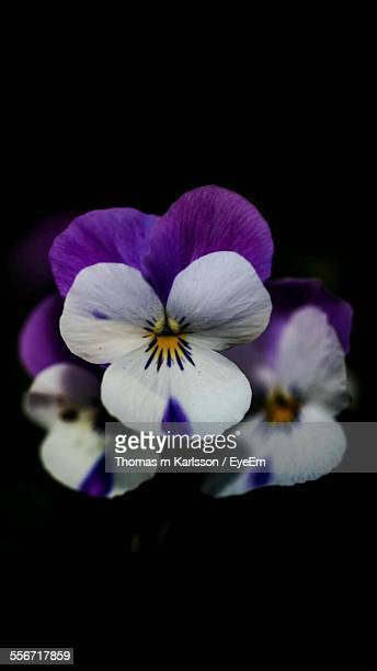 Close-Up Of Pansy Flowers Blooming In Park