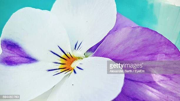 Close-Up Of Pansy