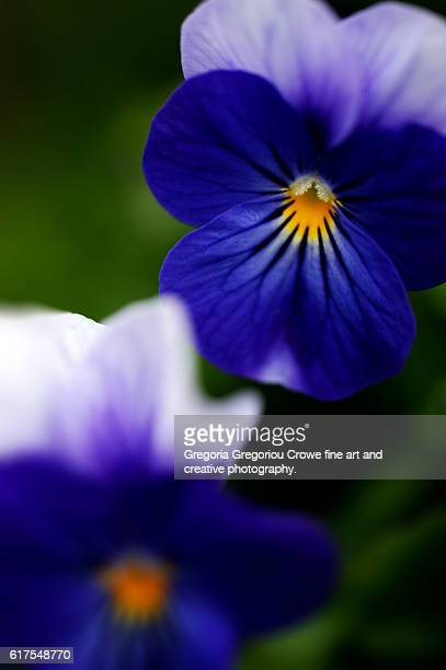 close-up of pansy - gregoria gregoriou crowe fine art and creative photography. stockfoto's en -beelden