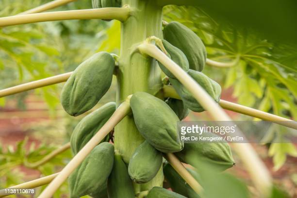 close-up of papaya growing on plant - unripe stock photos and pictures