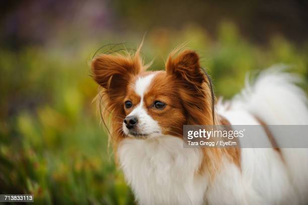 close-up of papillon dog looking away - papillon dog stock photos and pictures