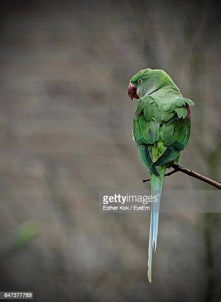 close-up of parakeet perching on twig - parakeet stock photos and pictures