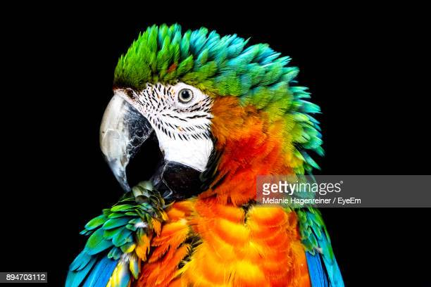 Close-Up Of Parrot Against Black Background
