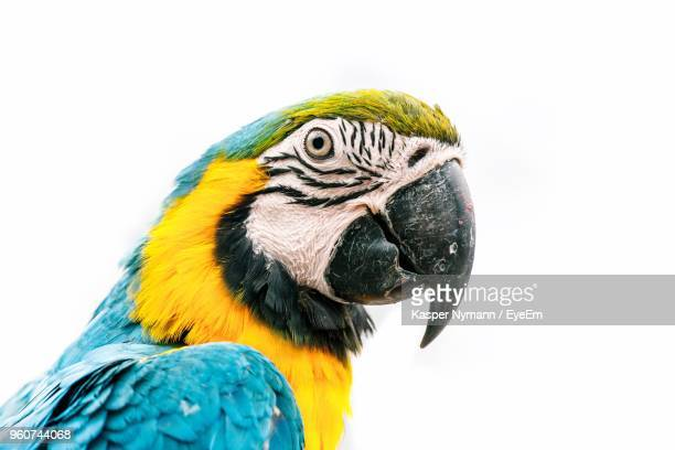 close-up of parrot against white background - parrot stock pictures, royalty-free photos & images