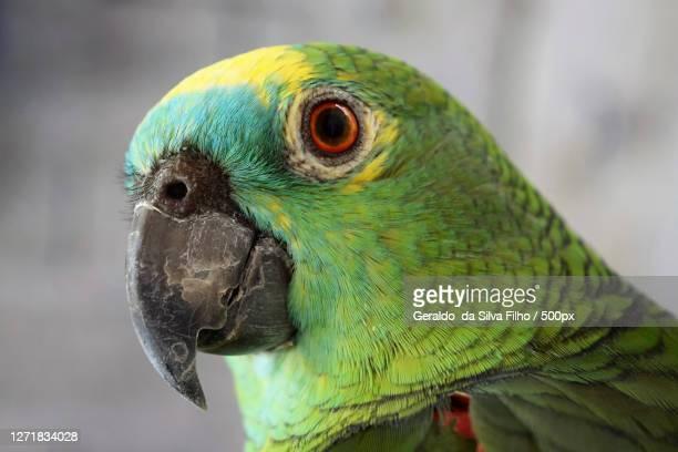 close-up of parrot, diadema, brazil - filho stock-fotos und bilder