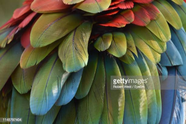 close-up of parrot feathers - tropical bird stock pictures, royalty-free photos & images