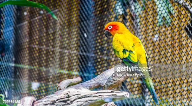 close-up of parrot perching in cage - yellow perch stock photos and pictures