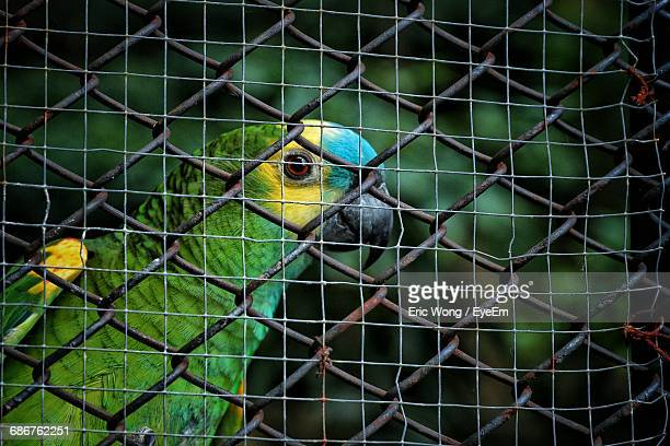 Close-Up Of Parrot Perching On Chainlink Fence In Cage