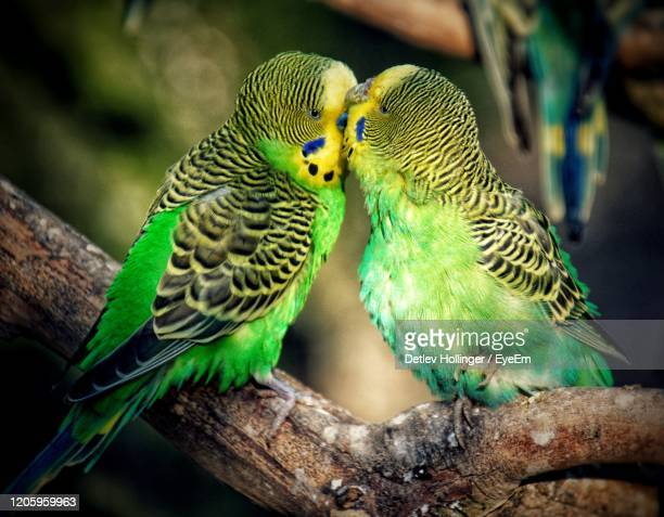 close-up of parrot perching on tree - animal behaviour stock pictures, royalty-free photos & images