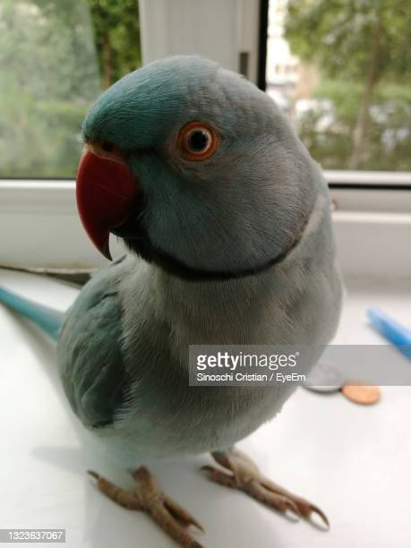 close-up of parrot perching - botoșani romania stock pictures, royalty-free photos & images