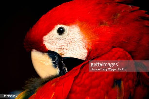 close-up of parrot - scarlet macaw stock pictures, royalty-free photos & images