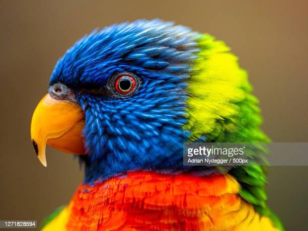 close-up of parrot, zrich kreis 1  lindenhof, switzerland - images stock-fotos und bilder
