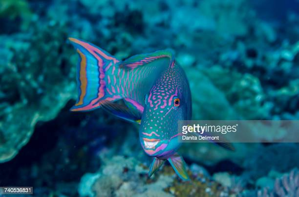 Close-up of parrotfish (Cetoscarus bicolor), Solomon Islands
