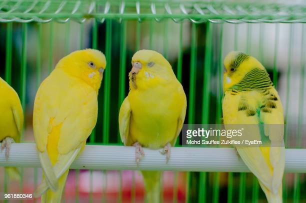 close-up of parrots perching in cage - perching stock photos and pictures