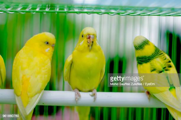 close-up of parrots perching in cage - yellow perch stock photos and pictures