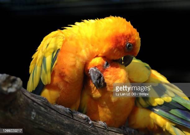 close-up of parrots perching on branch - パラキート ストックフォトと画像