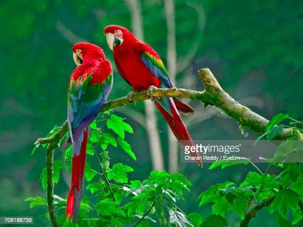 close-up of parrots perching on branch - scarlet macaw stock photos and pictures