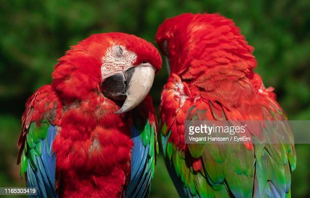 close-up of parrots - vegard hanssen stock pictures, royalty-free photos & images