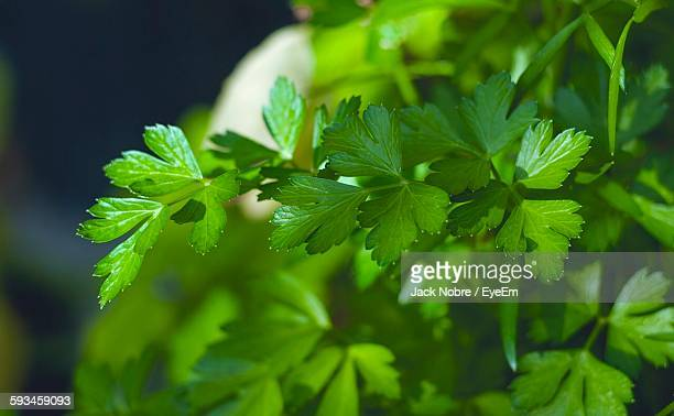 close-up of parsley growing outdoors - petersilie stock-fotos und bilder