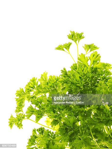 Close-Up Of Parsley Over White Background