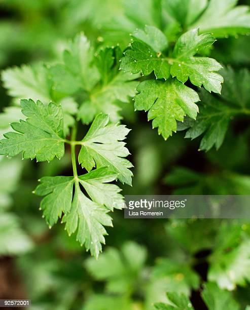 close-up of parsley - peterselie stockfoto's en -beelden