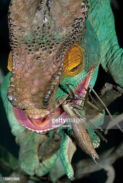 closeup of parsons chameleon, chamaeleo parsonii, feeding on insect, madagascar - insecteneter stockfoto's en -beelden