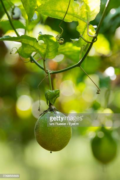 Close-Up Of Passion Fruit Hanging From Vine