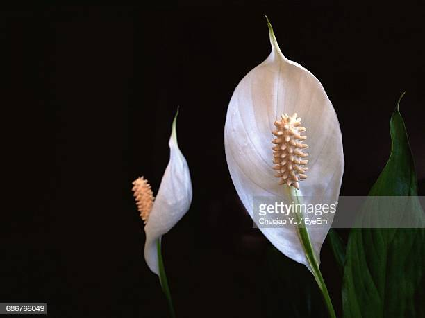 close-up of peace lilies growing outdoors - peace lily stock pictures, royalty-free photos & images