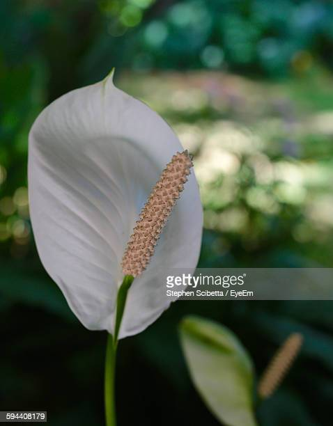 close-up of peace lily blooming in park - peace lily stock pictures, royalty-free photos & images