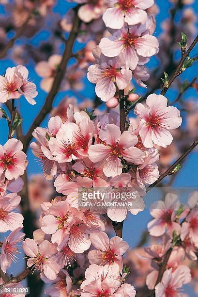 Closeup of Peach blossom flowers