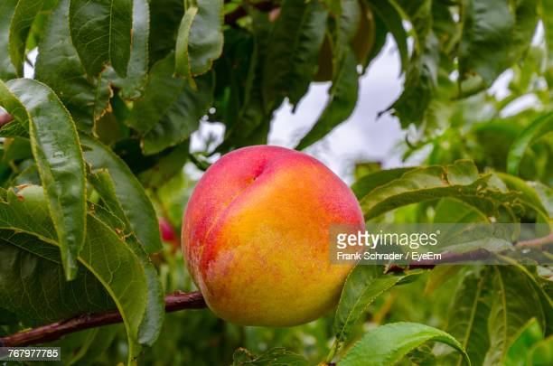 Close-Up Of Peach On Tree