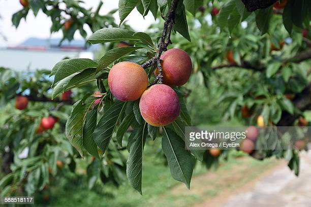 close-up of peaches growing on tree - peach tree stock pictures, royalty-free photos & images