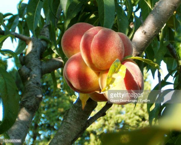 close-up of peaches on tree - peach tree stock pictures, royalty-free photos & images
