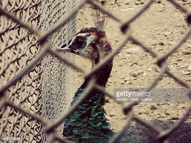 Close-Up Of Peacock In Cage
