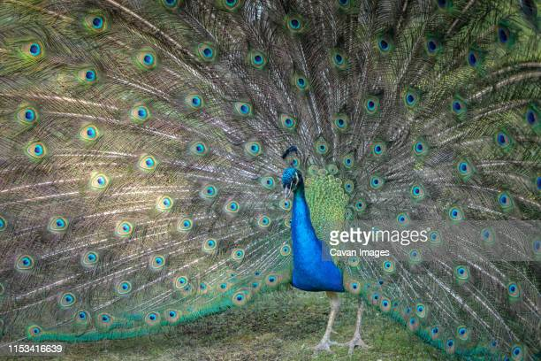 close-up of peacock in holland park - holland park stock pictures, royalty-free photos & images