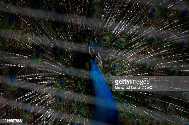 close-up of peacock - muhamad nasrun stock pictures, royalty-free photos & images