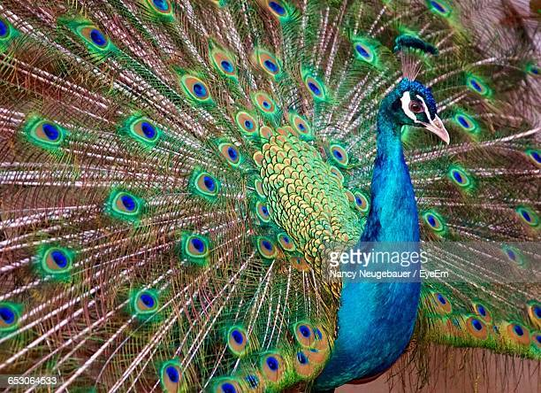 close-up of peacock - peacock stock pictures, royalty-free photos & images