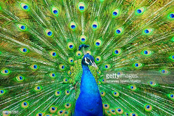 close-up of peacock with fanned out feathers - peacock stock pictures, royalty-free photos & images