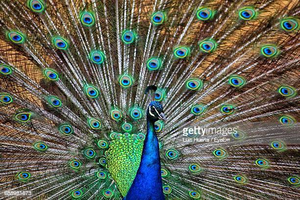 Close-Up Of Peacock With Spread Wings