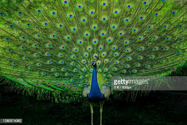 close-up of peacock,new delhi,delhi,india - images stock pictures, royalty-free photos & images