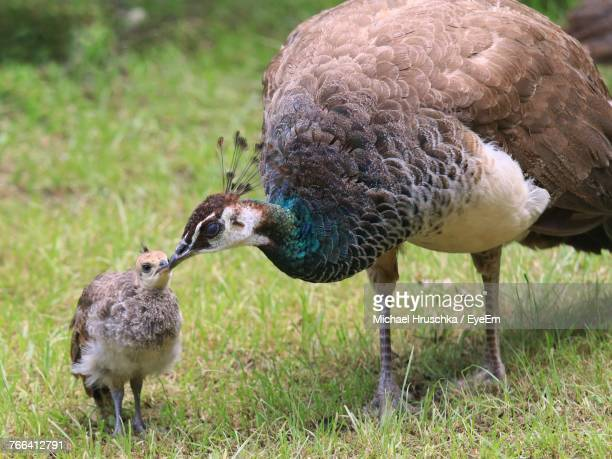 Close-Up Of Peahens On Grassy Field