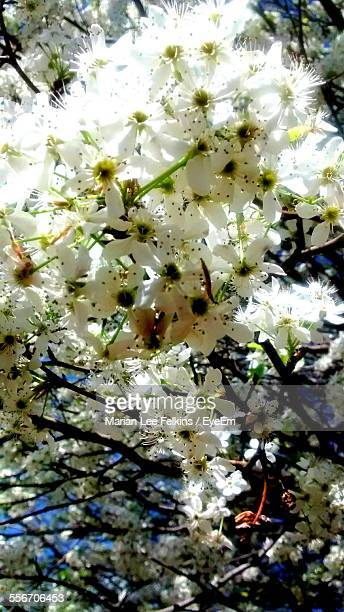 Close-Up Of Pear Trees In Blossom
