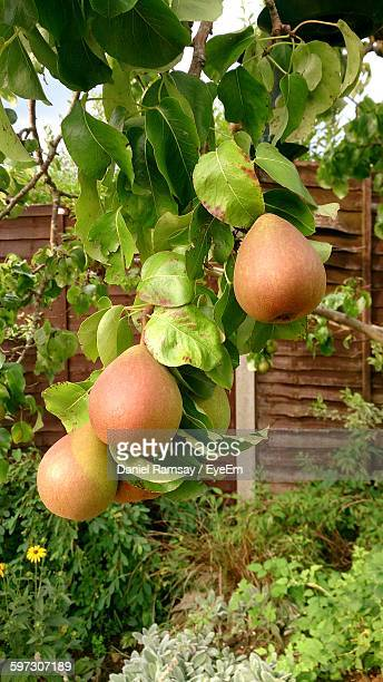 Close-Up Of Pears On Tree