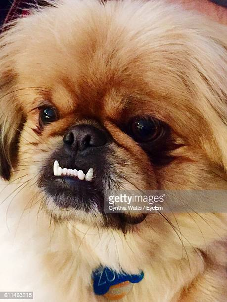 Close-Up Of Pekingese Dog