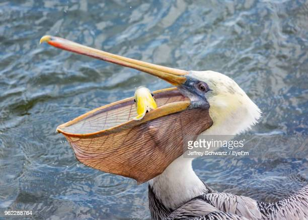 close-up of pelican fishing on lake - water bird stock photos and pictures