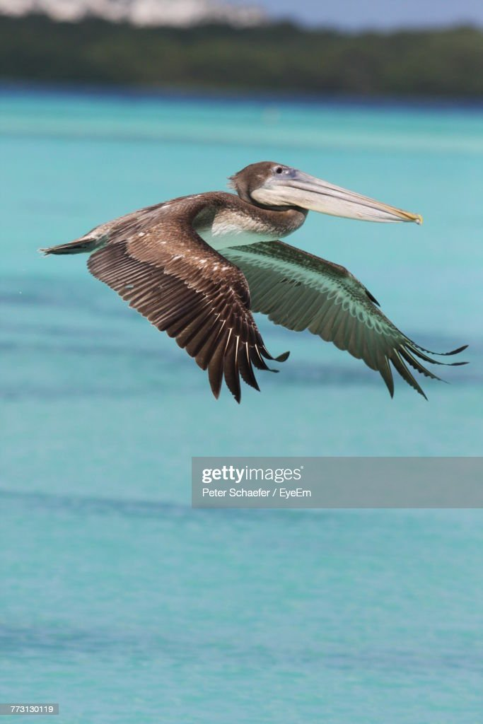 Close-Up Of Pelican Flying Over Sea : Photo