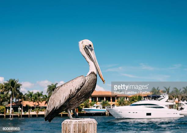 close-up of pelican on wooden post against blue sky - fort lauderdale stock pictures, royalty-free photos & images