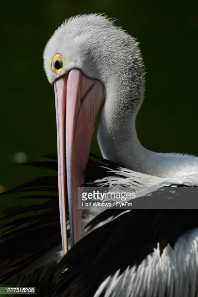 close-up of pelican - beak stock pictures, royalty-free photos & images