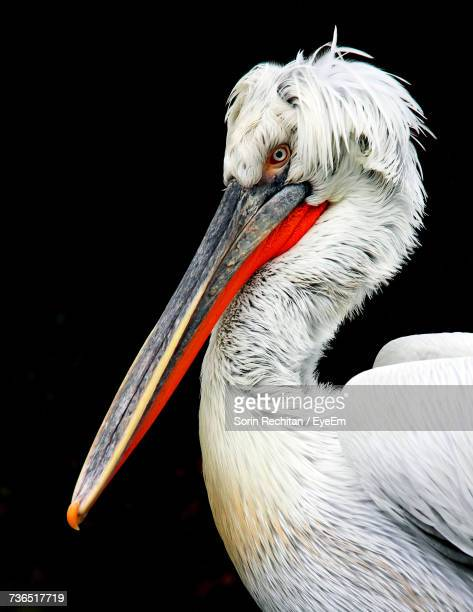 close-up of pelican - pelican stock pictures, royalty-free photos & images