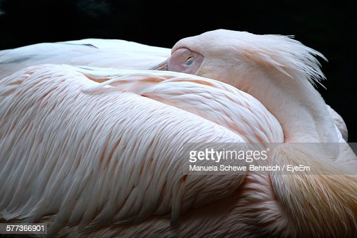 Close-Up Of Pelican Resting At Night